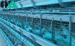 قفس های تمام اتوماتیک مرغ تخمگذار شرکت هلمن آلمان