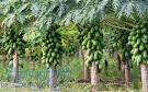 فروش نهال گیاه داروئی پاپایا خربزه درختی