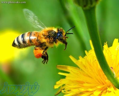 پخش عسل و شهد به صورت عمده