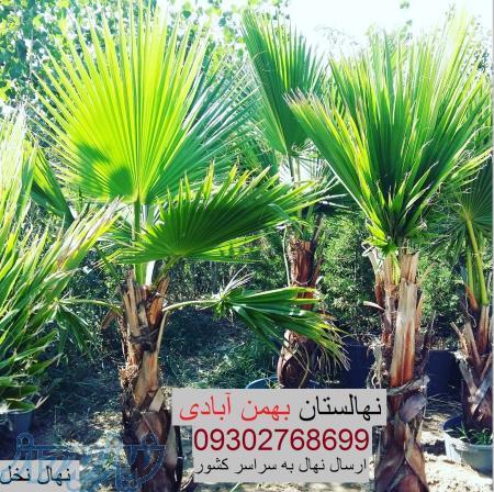 فروش نهال پالم(نخل) - نهالستان بهمنآبادی
