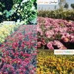 فروش گل داوودی - نهالستان بهمن آبادی