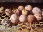 فروش تخم خوراکی بلدرچین