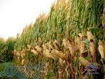 فروش ذرت بذري دشت مغان ( شركت كيهان كشاورز - آبيار )