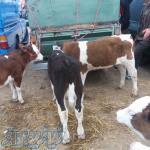 فروش انواع گوساله داشتی و گوشتی