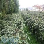 باغ کیوی 2 هکتاری پ تالش کد 285