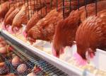 فروش زمین با جواز احداث مرغداری تخم گذار