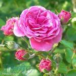 گلاب وعرقیات گیاهی اصل و صددرصدطبیعی کاشان