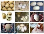 فروش فوق العاده تخم نطفه دار انواع پرندگان