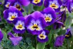 بذر گل بنفشه_ بذرگل آهار- بذرگل مینا چمنی- بذر گل میمون- بذر گل لاله- بذر گل آفتابگردان- بذر گل