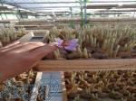 کاشت زعفران درمزرعه وخانه شغلی بادرآمدعالی وتضمینی