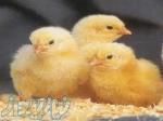 فروش برترین مرغ بومی با راندمان 300 در سال