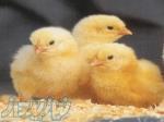 فروش جوجه شترمرغ پرواری در اقصی نقاط ایران