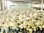 راه اندازی سالن پرورش قارچ با مشاورین اروم کشاورز آسان است