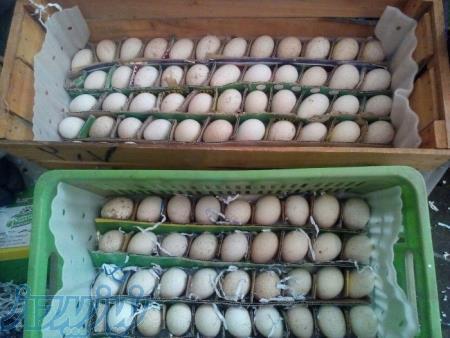 تخم نطفه دار و جوجه وشترمرغ بوقلمون قرقاول غاز اردک